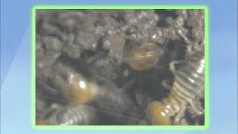 Termites vs. Tongues