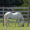 Banker Horse