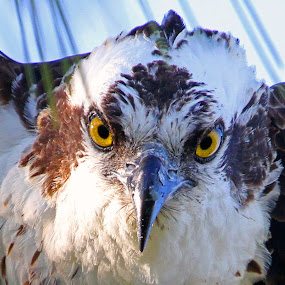 Eye to Eye! by Steve Shelasky - Animals Birds ( eyes bird stare sinister, ospreys,  )