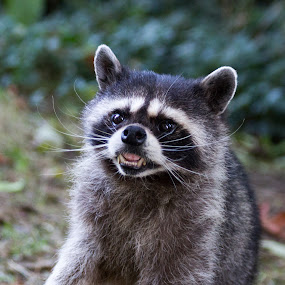 Angry raccoon by Jordan Crick - Animals Other Mammals ( canon, animals, ef 70-300mm, stanley park, canada, wildlife, raccoon, vancouver, bc, lens,  )