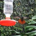 colibrí de cola roja