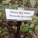 Native Bee Balm