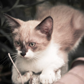 the young kitten,  by Ivan Lim - Animals - Cats Kittens ( urban, resting, kitten, cat, sitting, single, solo, one, young, animal )