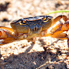 Cape River Crab