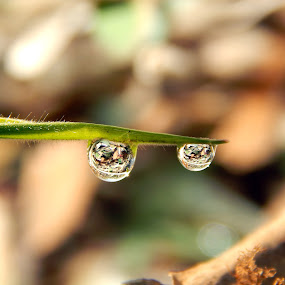 Drops by Mukesh Mishra - Nature Up Close Natural Waterdrops ( water drops dew drops beauty )