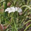 Coriander's flower