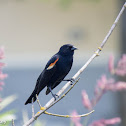 Red-winged Blackbird (male and female pair)