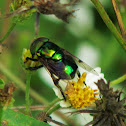 Green Hoverfly