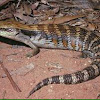Eastern Blue-tongue Lizard