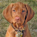 Dog Puzzle: Vizsla icon