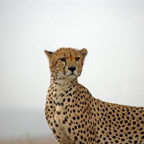 Cheetah In Serengeti. by Tony Murtagh - Animals Lions, Tigers & Big Cats ( big cat, cheetah, cat, serengeti, wildlife, tanzania,  )
