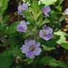 Oblong-leaf Twinflower
