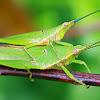 Slant-faced Grasshoppers
