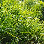 Grass Real Live Wallpaper