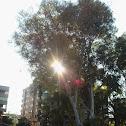 Eucalipto (Eucalyptus)