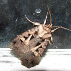 Master's Dart Moth