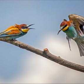 European bee-eater 5 by Simon Kovacic - Animals Birds ( bird · european bee-eater · aves · meropidae · merops apiaster ·,  )