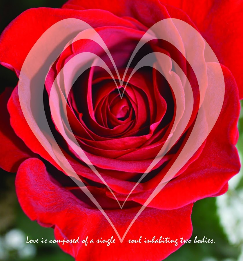 Love by Shannon Maltbie-Davis - Typography Quotes & Sentences ( love, valentine's day, rose, hearts, red, quote, postcard, valentine, typography, flower,  )