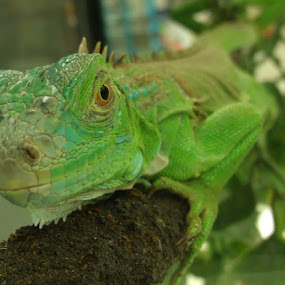 Mr. Green by Cheryl Beaudoin - Animals Other ( lizard, creature, green, iguana, animal,  )