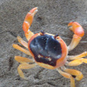 Blackback Land Crab
