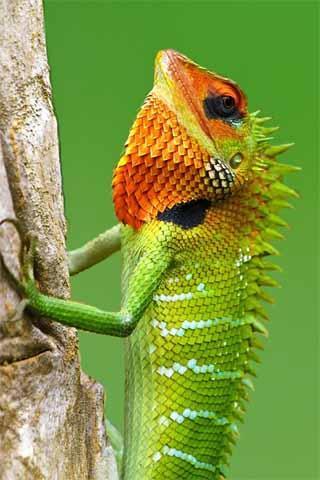 How To Draw Reptile Iguana
