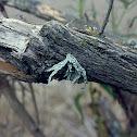 Liquen / Lichen