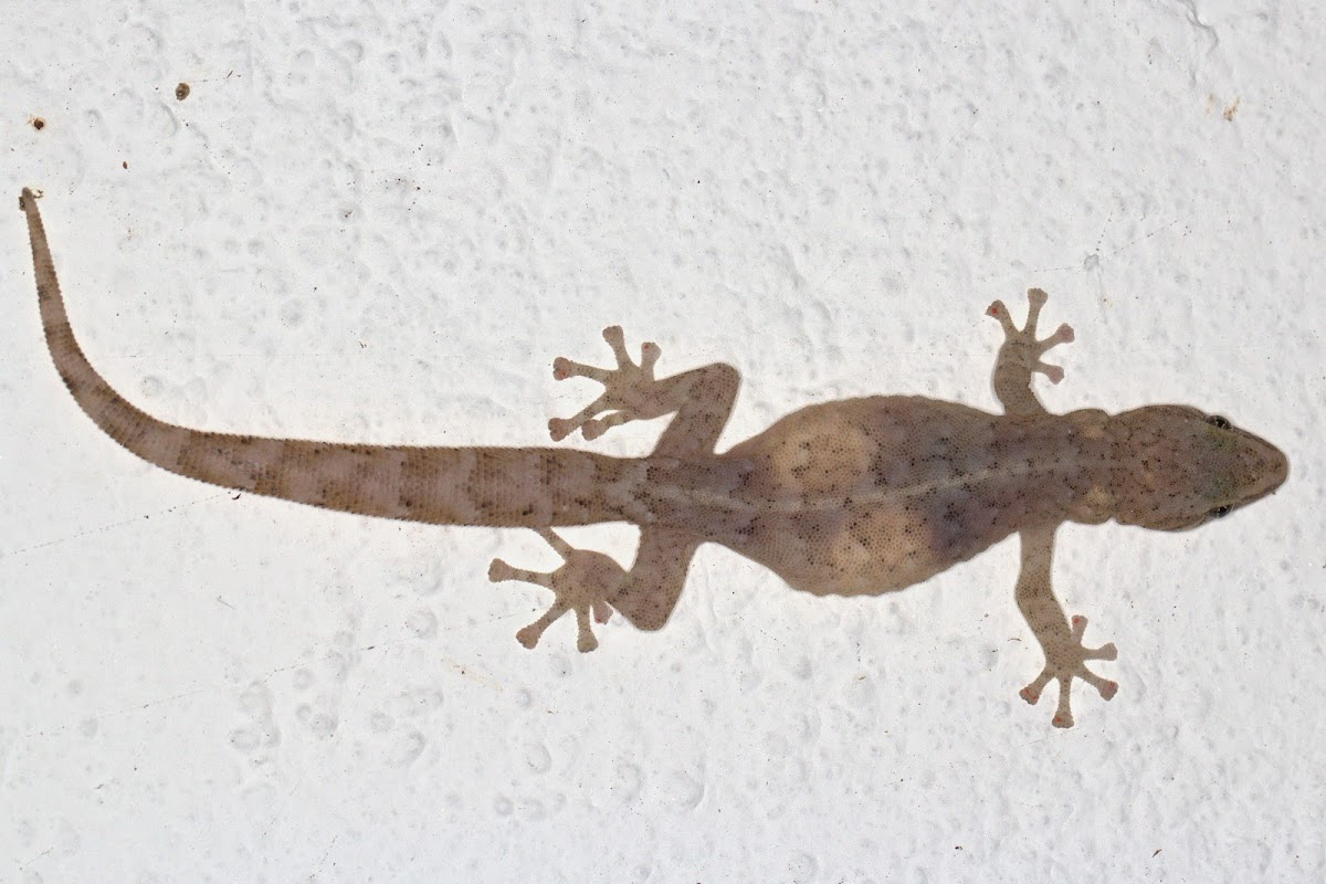 Marbled Leaf-toed Gecko