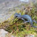 Northern Slimy Salamander
