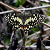 Common Lime Butterfly, Lemon Butterfly, Lime Swallowtail, Small Citrus Butterfly, Chequered Swallowtail, Dingy Swallowtail, Citrus Swallowtail.