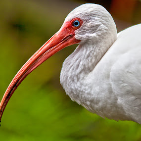 White ibis by Nicola Ibba - Animals Birds