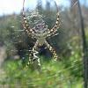 Araña. Spider