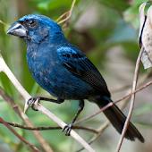 Cantos dos Pássaros Silvestres
