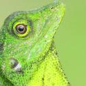 Changeable oriental garden lizard