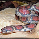 Milksnake (Red x Eastern)