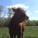 Heifer, Jersey/angus/heartford mix