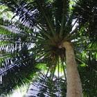 Coconut palm