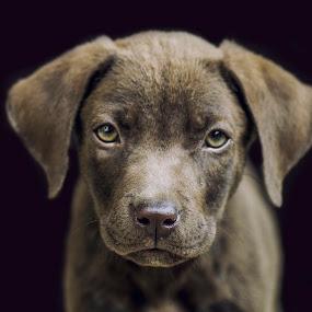 Choco by Jeremy Mendoza - Animals - Dogs Portraits ( animals, pet, labrador, dog, #GARYFONGPETS, #SHOWUSYOURPETS,  )