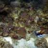 Picassofish / Lagoon Triggerfish
