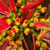Poinsettia (Ευφορβία η κομψότατη)