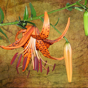 Spotted by Sharon Pierson - Flowers Flower Gardens ( textured background, spots, orange, lily,  )