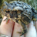The Eastern American Toad