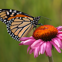 Butterfly on flower Wallpapers logo