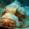 Scorpionfish in white