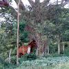 horse, caballo