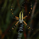 Black & Gold Garden Spider