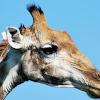 South African Giraffe