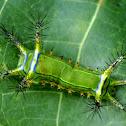 Slug moth type caterpillar