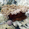 Soft Coral (?)