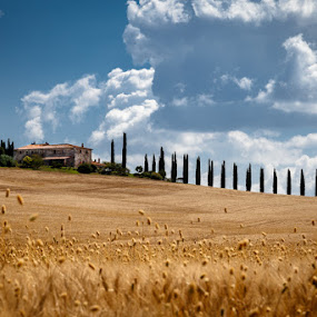 Cypress Hill by Raffaello Terreni - Landscapes Prairies, Meadows & Fields ( wheat, farm, sky, cypress, cloud, barney, numbs, fields )