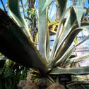 variegated century plant